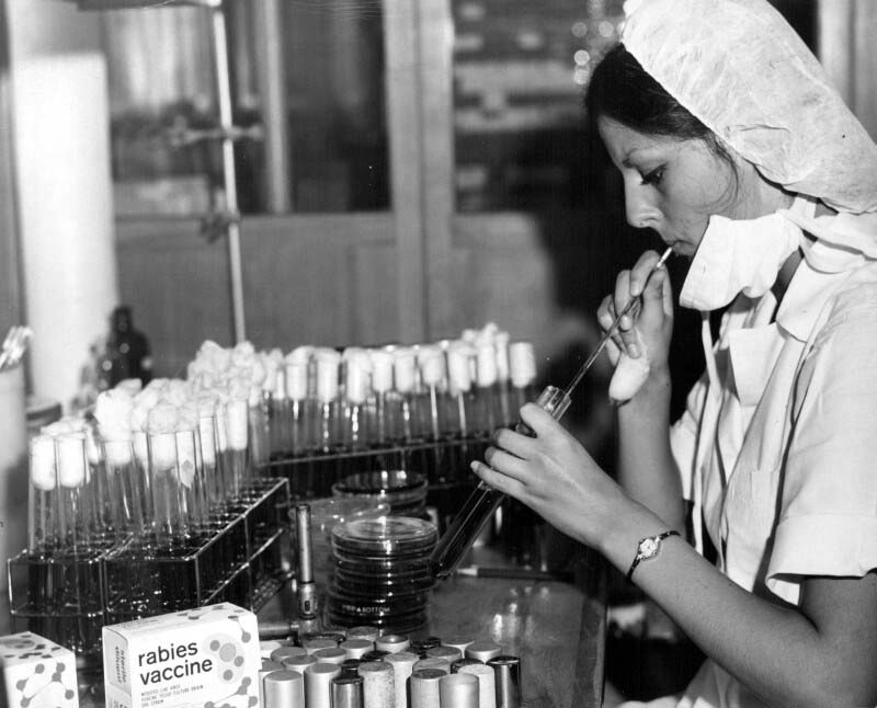Sterility testing of Connaught's ERA strain rabies vaccine for veterinary use, late 1960s.